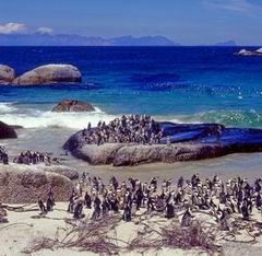 Pinguins at Boulders Beach, Simons Town near Cape Town